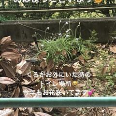 紫芋/庭/ルーク/くろ/にこ/黒猫/... おはようございます。天気のせいかなんとな…(1枚目)