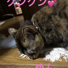 猫飼さんのしあわせ/癒し/黒猫/にこ/くろ/猫/... お正月用の首飾りくろとめんは可愛いの見つ…(3枚目)