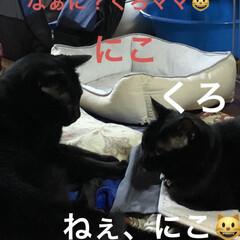癒し/猫飼さんのしあわせ/くろ/にこ/黒猫 いつになくくろがハッスルしてます。にこに…(1枚目)