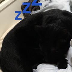 黒猫/にこ/癒し/猫飼いのしあわせ 今日はにことめんがじゃれあいなのか追いか…(7枚目)