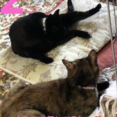 めん/猫/くろ/にこ/黒猫/癒し/... 今日もたくさんの癒しをくれた3匹。 今は…(2枚目)