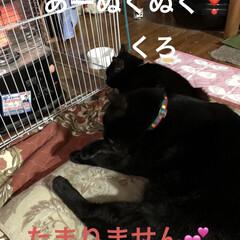 朝ご飯/黒猫/にこ/くろ/猫/めん/... 今朝の猫たち。早朝は寒かったですね。 お…