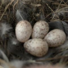 「ツバメのその後 最終的に卵は5個でした。…」(1枚目)
