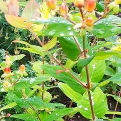 ヒペリカム/蕎麦畑/我が家の庭 庭の花たちと散歩途中の蕎麦畑です(1枚目)