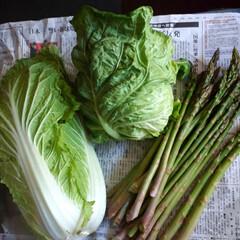 アスパラ/キャベツ/白菜/アスパラ収穫 私の早朝バイトも今日で終わりです。  採…