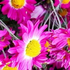 庭の花/もみじ/旭岳/大雪山連邦 庭にある最後の花ともみじ🍁です。  それ…