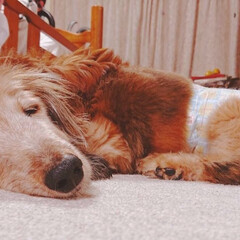 ダックスフント/わんこ同好会/うちの子ワンショット うちのロン君17歳6ヶ月、気持ち良く眠っ…