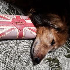 うちのわんこ/わんこ同好会 娘の財布を枕に眠るロンくん🤗 そんなとこ…