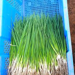 ネギ苗収穫/早朝バイト 早朝バイトです。 ネギ苗の収穫に行って来…