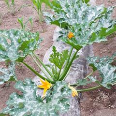 家庭菜園/我が家の庭 我が家の庭と畑です。 最近全く雨が降らな…(7枚目)