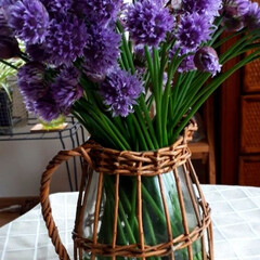 チャイブの花/ハーブ チャイブの花をもらいました。ハーブで、シ…(2枚目)