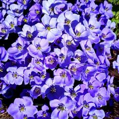 庭の花/タツタソウ/エゾエンゴサク/カタクリ/福寿草/春の野草 うちの庭にも 春の花が咲きました。  タ…