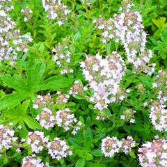 ヒペリカム/蕎麦畑/我が家の庭 庭の花たちと散歩途中の蕎麦畑です(5枚目)