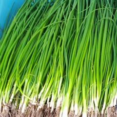 ネギ苗収穫 早朝バイト、葱の収穫です。 (1枚目)