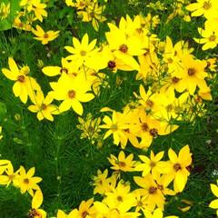 ヒペリカム/蕎麦畑/我が家の庭 庭の花たちと散歩途中の蕎麦畑です(2枚目)