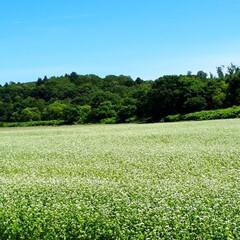 蕎麦畑/蕎麦の花/田園風景/ススキ 少し前のphotoですが、蕎麦畑です。花…