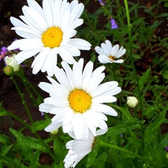 ヒペリカム/蕎麦畑/我が家の庭 庭の花たちと散歩途中の蕎麦畑です(3枚目)