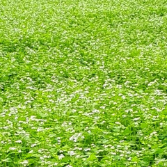 ヒペリカム/蕎麦畑/我が家の庭 庭の花たちと散歩途中の蕎麦畑です(8枚目)