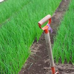 ネギ苗収穫 早朝バイト、葱の収穫です。 (2枚目)