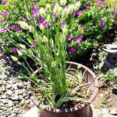 庭の花たち 庭の花たちです。 1枚目ラグラスバニーテ…