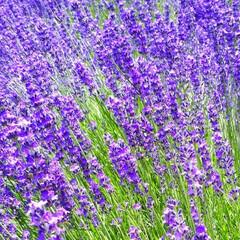 富田ファーム/アドバルーン/ポピーの花/ラベンダー/きからし ラベンダーの花が咲いているうちに…と思い…(4枚目)