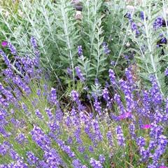 家庭菜園/我が家の庭 我が家の庭と畑です。 最近全く雨が降らな…(10枚目)