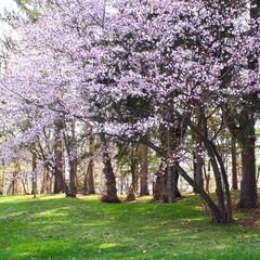 オキナグサ/黄色いカタクリ/さくら 庭の花たちです。 桜はほぼ散ってしまいま…(4枚目)