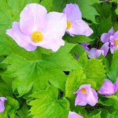しらねあおい/ヒトリシズカ/私の散歩コース 庭の花たちと散歩コースのphotoです。 (1枚目)