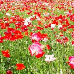 富田ファーム/アドバルーン/ポピーの花/ラベンダー/きからし ラベンダーの花が咲いているうちに…と思い…(6枚目)