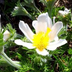 オキナグサ/黄色いカタクリ/さくら 庭の花たちです。 桜はほぼ散ってしまいま…(2枚目)