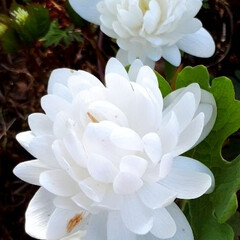 オキナグサ/黄色いカタクリ/さくら 庭の花たちです。 桜はほぼ散ってしまいま…(1枚目)