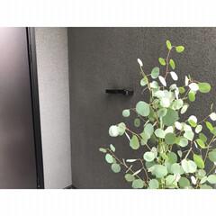 森田アルミ工業 エントランスフック ViK 森田アルミ傘掛け リードフック グレー/ブラック(ウォールフック)を使ったクチコミ「ユーカリポポラスを玄関先に植えました⚘ …」