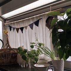 キッチン/小ネギ再生/ポインセチア/三つ葉/100均/節約 使い切れなかった三つ葉を水に生けておいた…