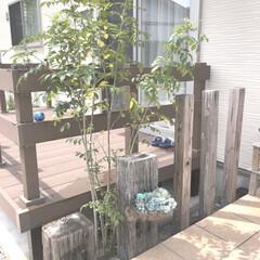 マイホーム/枕木/シンボルツリー/シマトネリコ/玄関ポーチ/玄関 玄関のシマトネリコ🌳 ホームセンターで購…