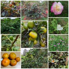 バラ/家庭果樹園/家庭菜園 みかん🍊、柿、いちじく  バラ🌹アイスバ…(1枚目)