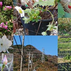 家庭菜園 畑のにんにく、大根、白菜🥬、玉ねぎと木い…