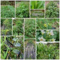 家庭菜園 ナス🍆、ピーマン、甘長ししとう、シヨウガ…(1枚目)