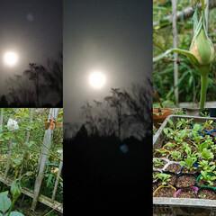 家庭菜園/満月/ガーデニング/花 10月の満月🌕はハンターズムーン、天気も…