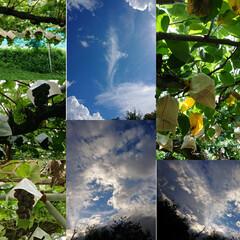 果物狩り/空 空と雲 今年4回目の梨狩りへ。20世紀梨…