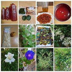 家庭菜園 夏休みに入って大量消費。続けて作った青じ…(1枚目)