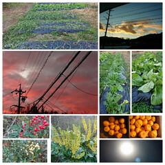 家庭菜園/曇り空/朝焼け空 南天と白南天の実 ヒイラギナンテンの花 …