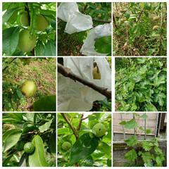 家庭果樹園 シャインマスカット、桃🍑(白桃・あかつき…(1枚目)