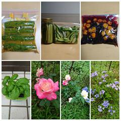 家庭菜園 紫陽花  バラ🌹ダブル・デライト→花の色…(1枚目)