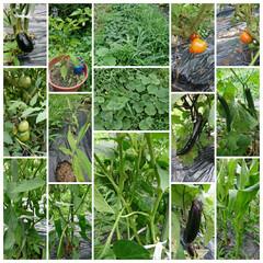 家庭菜園 【家庭菜園】  トマト(3種類)🍅、きゅ…(1枚目)