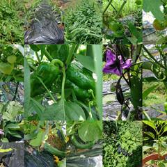 家庭菜園  【家庭菜園】 トマト🍅、きゅうり🥒、じ…(1枚目)