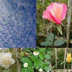 薔薇/青空 次々に咲く薔薇🌹といちご🍓の花と青空