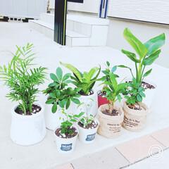 観葉植物のある暮らし/観葉植物/令和の一枚/100均/ダイソー/セリア 我が家の植物達♡ 植物があるだけで、とっ…(1枚目)