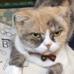 キャラコ/スコテッシュフォールド垂れ耳/猫との暮らし/ねこ/暮らし なんでしょ、ちょっと御機嫌ナナメな シリ…