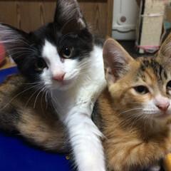 仔猫/保護猫/ねこ/暮らし チビニャンズがウチに来てボチボチ 2週間…(5枚目)