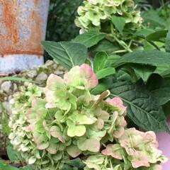 紫陽花/暮らし 毎年、母の日に買ってもらう紫陽花。 今年…